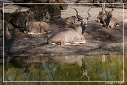 Hellabrunn Zoo Greater kudu